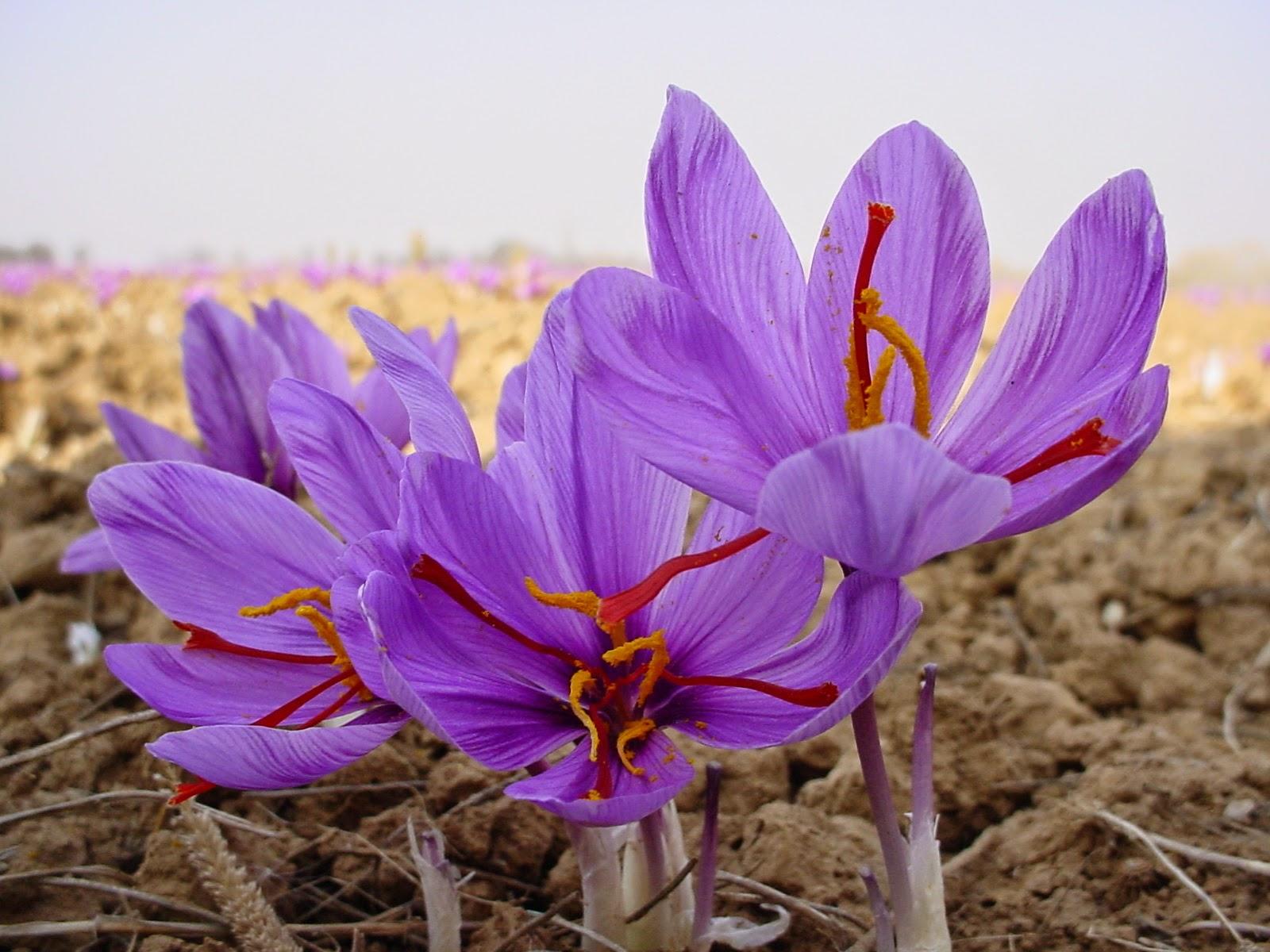 saffron_crocus