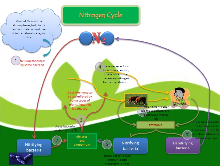 Educative diagrams nitrogen cycle nitrogen cycle ccuart Image collections