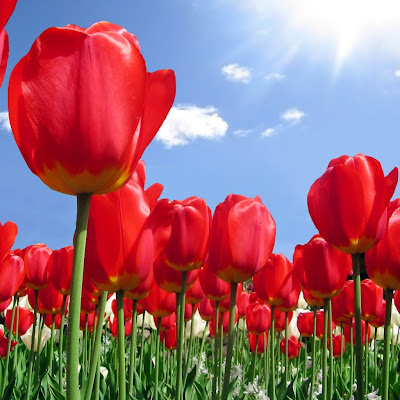 Red tulips, plantation download free wallpapers for Apple iPad