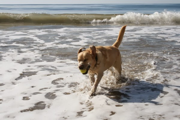 Labrador splashing through waves Hendrys Beach