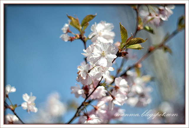 Japansk körsbärsblom