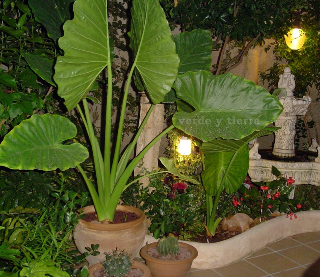 Verde y tierra alocasia - Plantas de hojas grandes y verdes de exterior ...