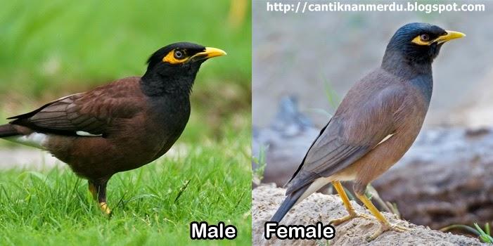 Burung Jalak nias jantan dan betina