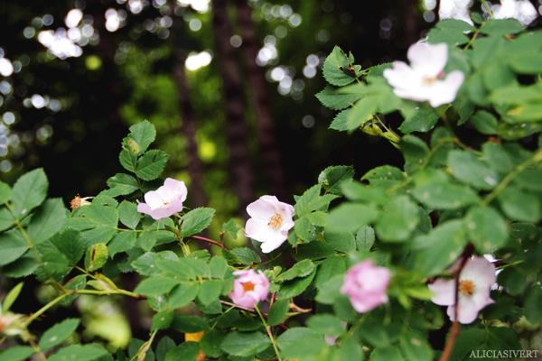 aliciasivert, alicia sivert, alicia sivertsson, midsommar, midsummer, nyponrosor, roses, rosor