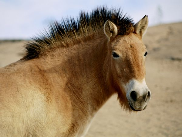 Przewalski's Horse