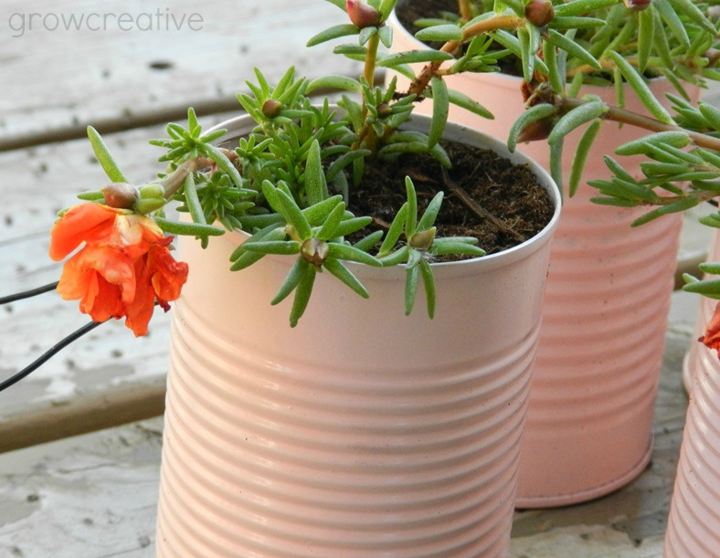 Spray Painted Tin Can Planters with Moss Rose