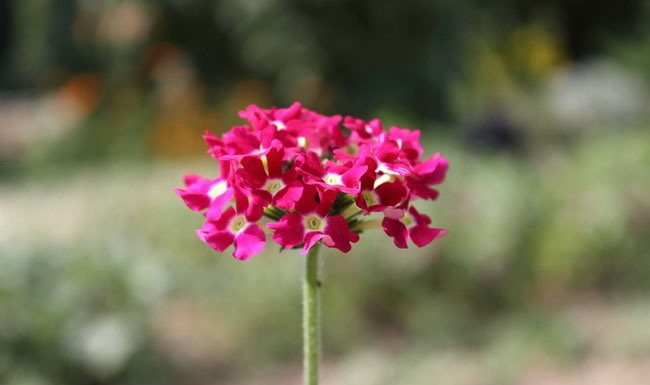 Verbena Flowers Pictures