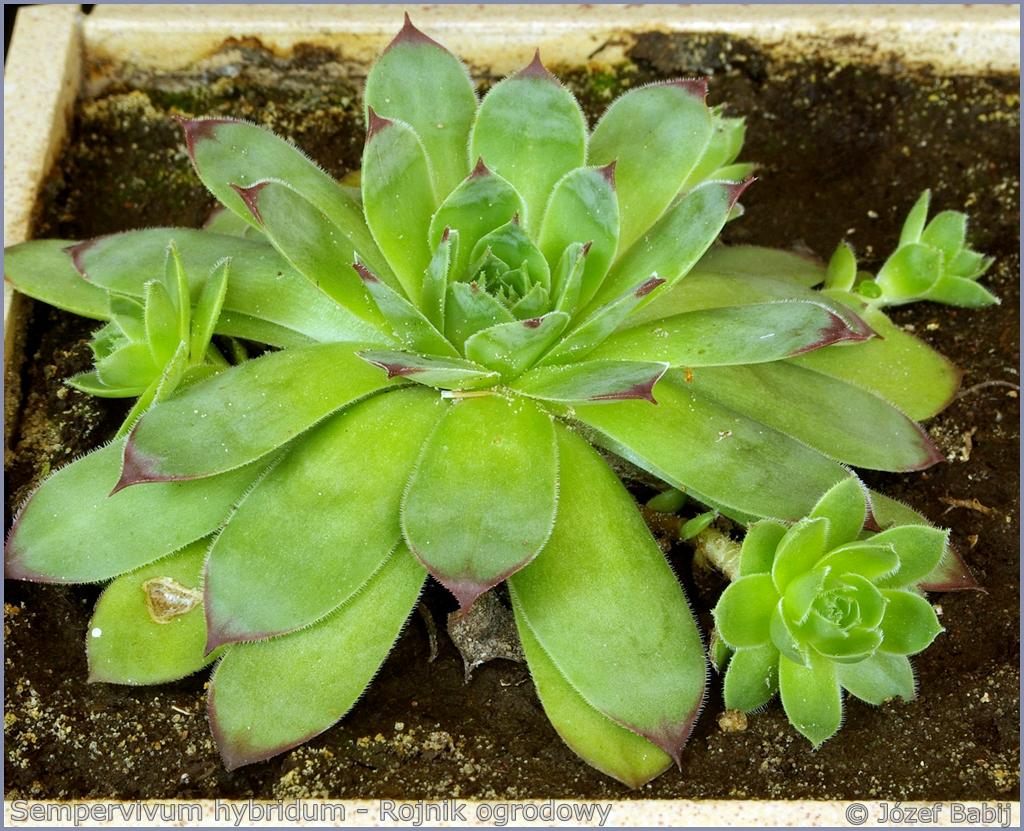 Sempervivum hybridum - Rojnik ogrodowy