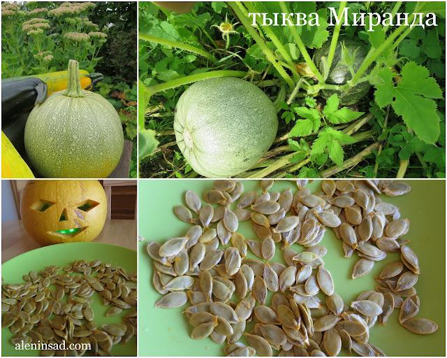 голосемянная, голозерная тыква, сорта, Миранда, аленин сад, выращивание, история, масличная тыква