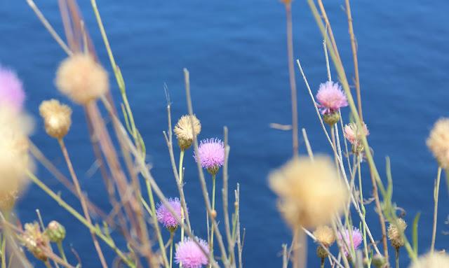 flores en Far de cavalleria, formentera