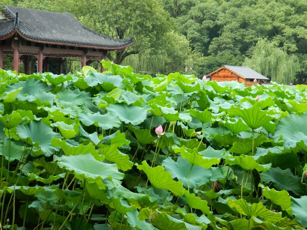Flower Harbor Park West Lake Hangzhou lotus by garden muses-a Toronto gardening blog