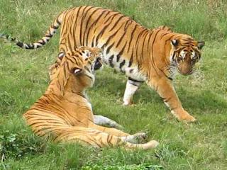 Harimau Pleistosen
