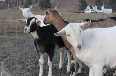 Goats from Ayers Brook Goat Farm in Randolph, Vermont