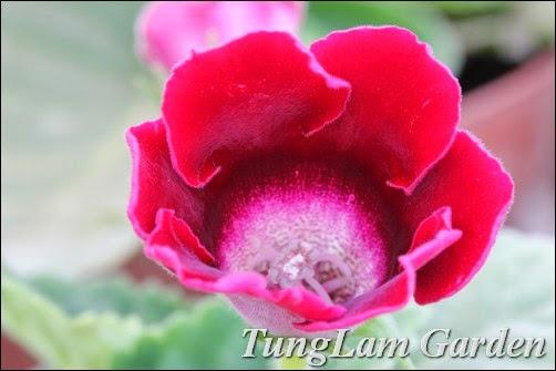 cách trồng hoa tử la lan, bán hoa tử la lan, bán hoa tử linh lan, hoa tử la lan, hoa tử linh lan, tu la lan, tu linh lan, Tử la lan, Tử linh lan,