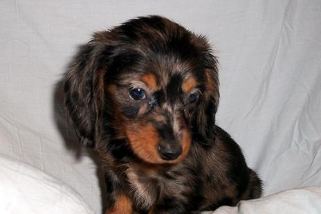 Dachshund Long Haired Dog Breed Pictures