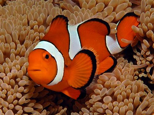 Life of orange clownfish life of sea for What do clown fish eat