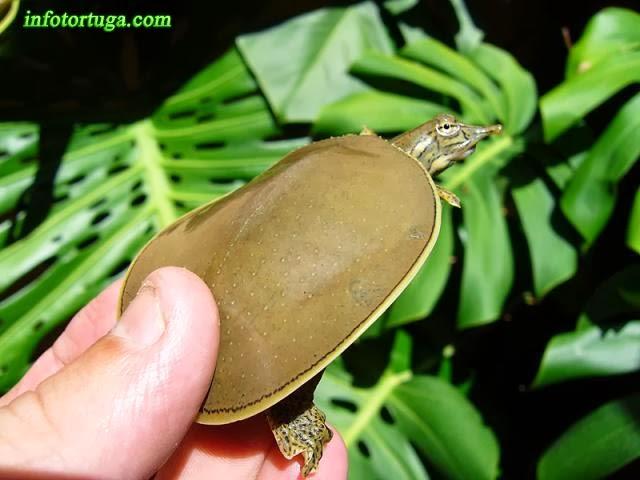 Apalone spinifera - Tortuga de caparazón blando espinosa