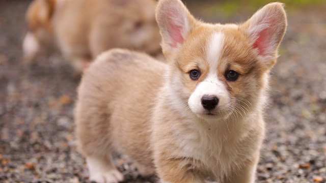 Corgi Puppy HD Wallpaper