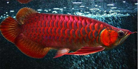 Ikan Super Red