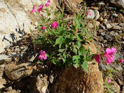 Erythranthe lewisii (Lewis' Monkeyflower)