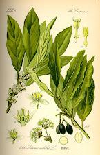 LAURUS NOBILIS 1   شجرة الغار