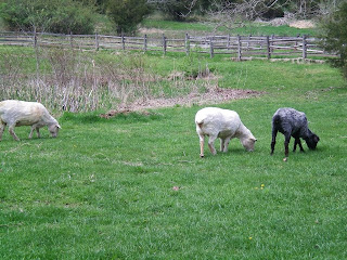 Sheep_at_Daniel_Boone_Homestead_2014_after_shearing