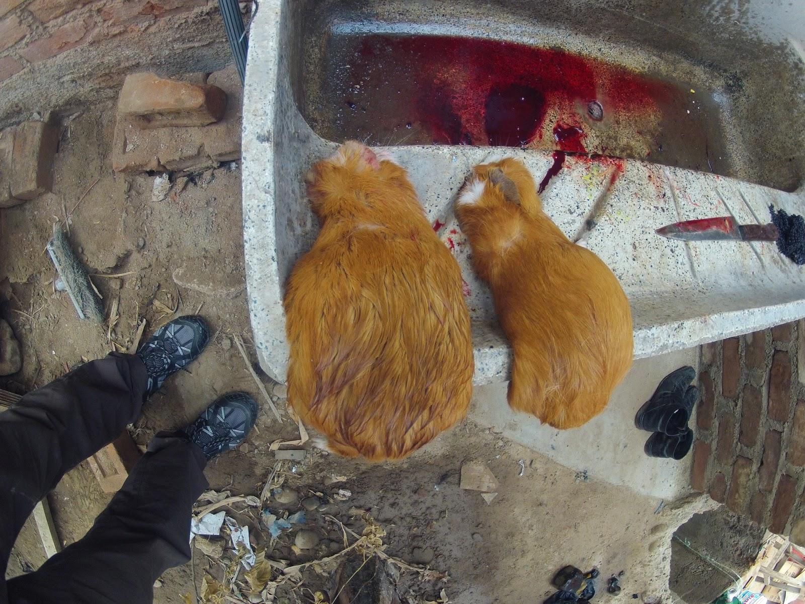 Bonjour terre le cochon d 39 inde el cuy - Image de cochon mignon ...