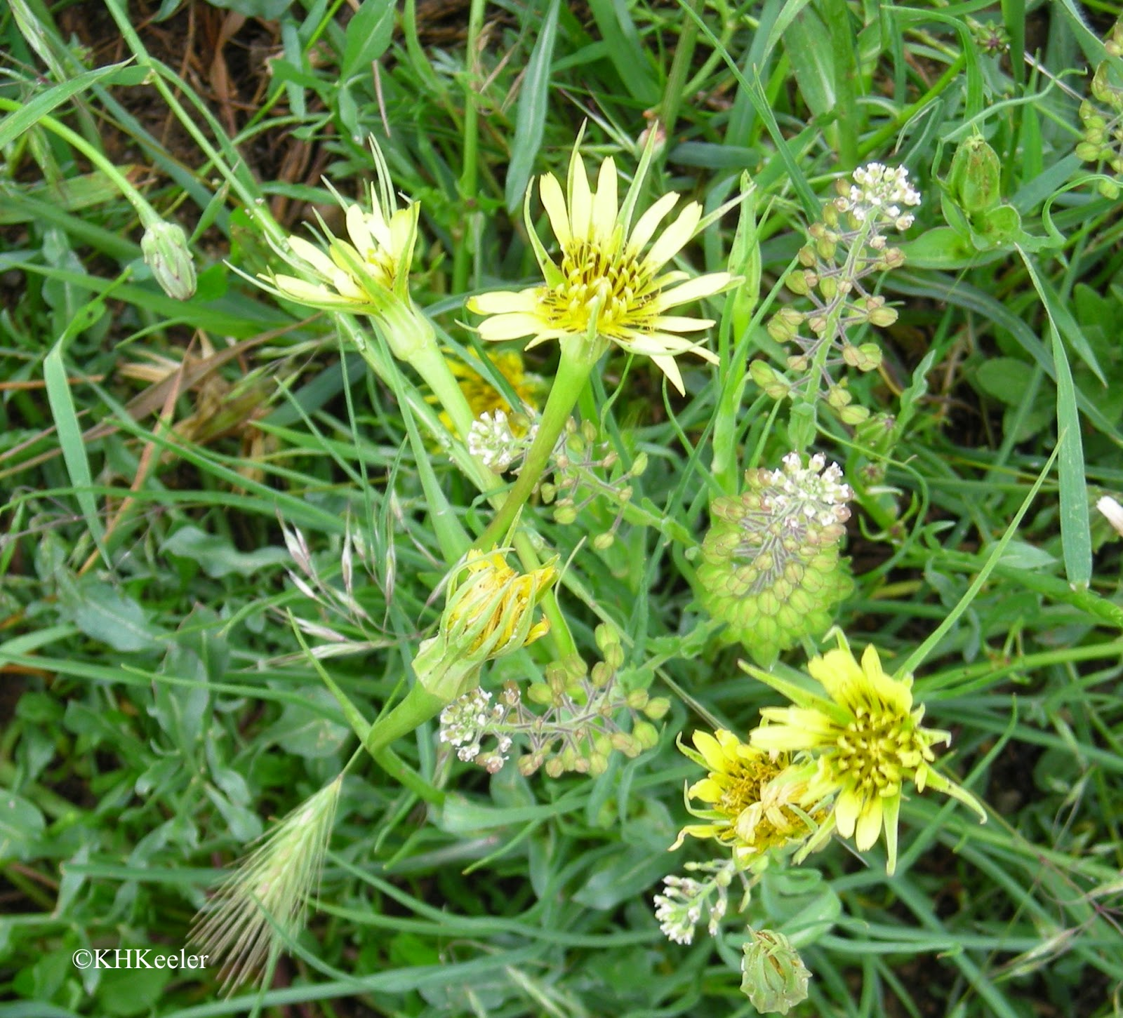 A Wandering Botanist Plant Story Yellow Salsify Tragopogon