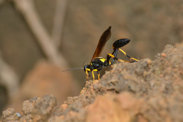 Black-and-yellow Mud Dauber Wasp
