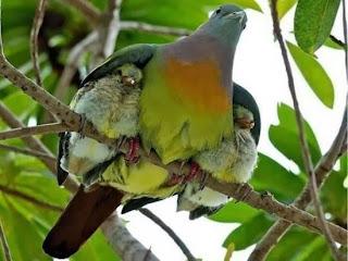 contoh aves burung