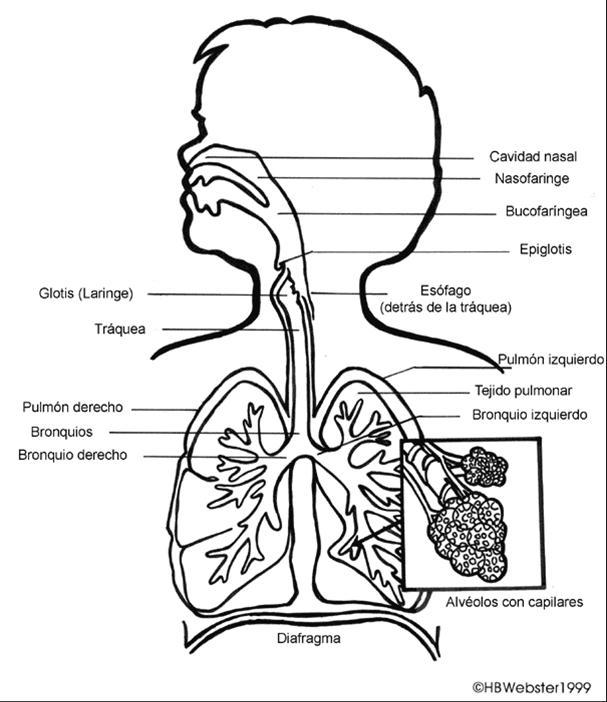 Sistema respiratorio sin partes para colorear - Imagui