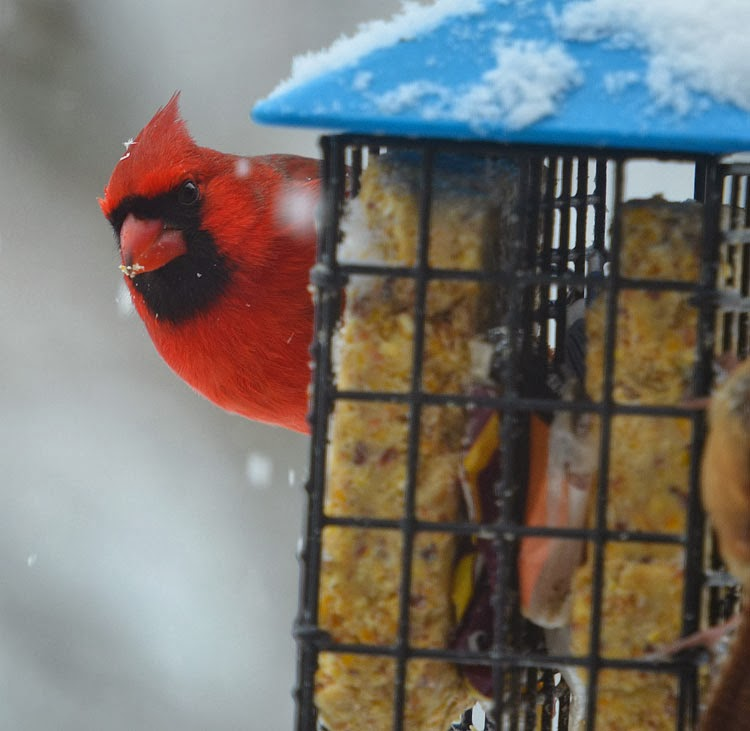 A beautiful red northern cardinal clings to a suet feeder. Normally cardinals are perching birds and will not exhibit this kind of behavior.