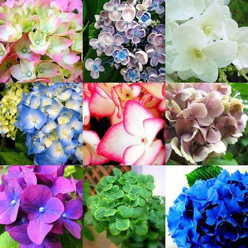 Romantic Flowers Hydrangea Flowers