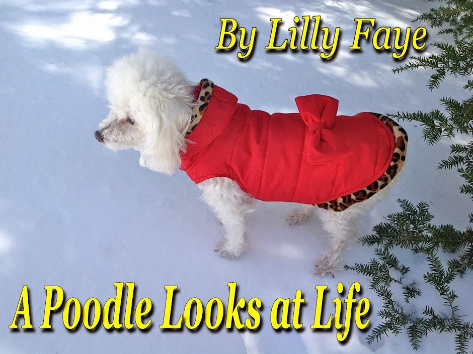A Poodle Looks at Life