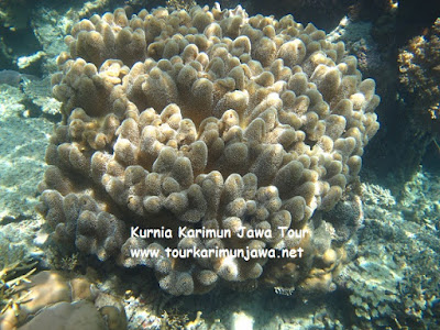 soft coral in menjangan kecil karimunjawa island