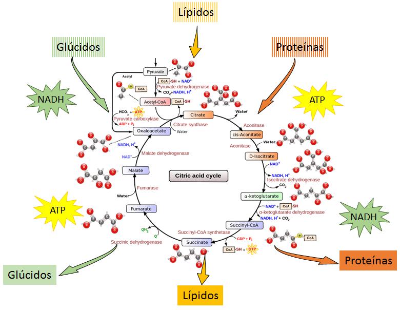 vias catabolicas y anabolicas de los lipidos