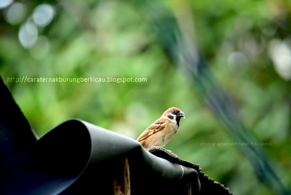 Ternak Burung Gereja dan Ukuran Kandang