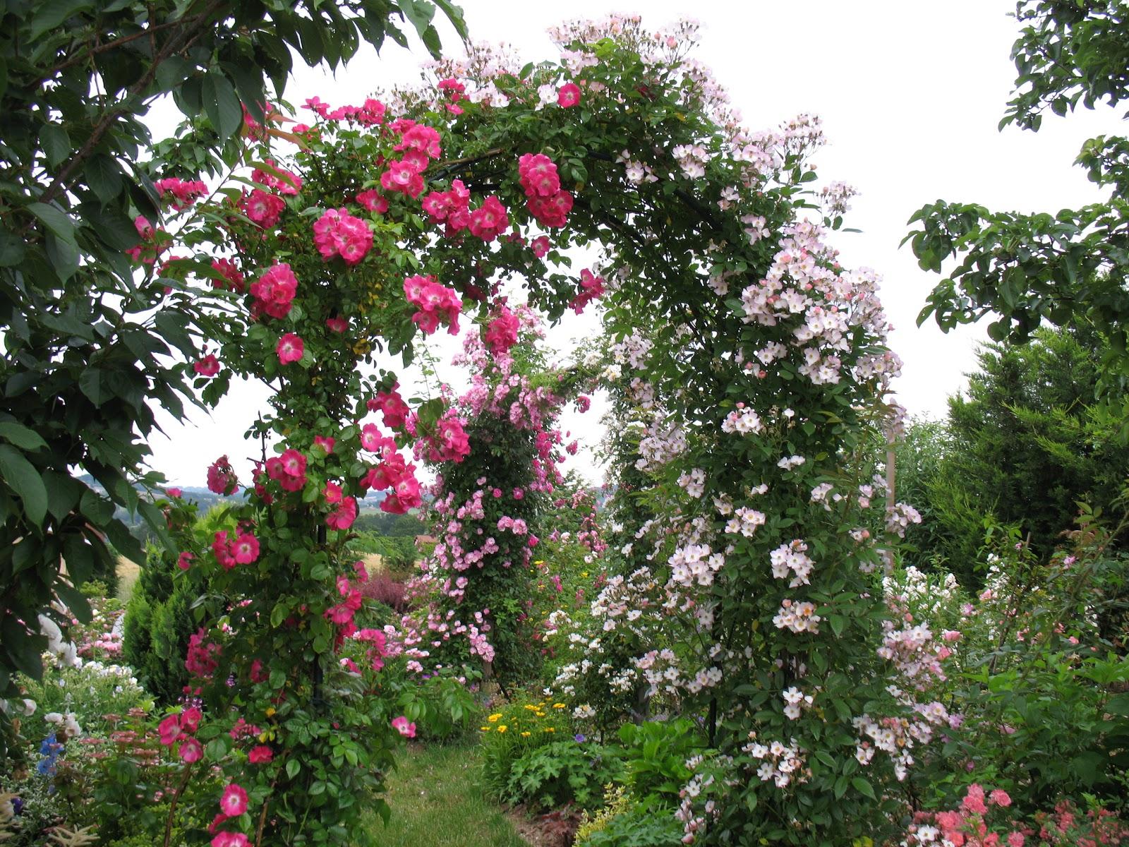"Roses du jardin Chªneland Rosier ""Américan Pillar"""
