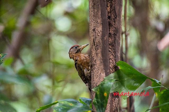 Laced woodpecker(Picus vittatus)