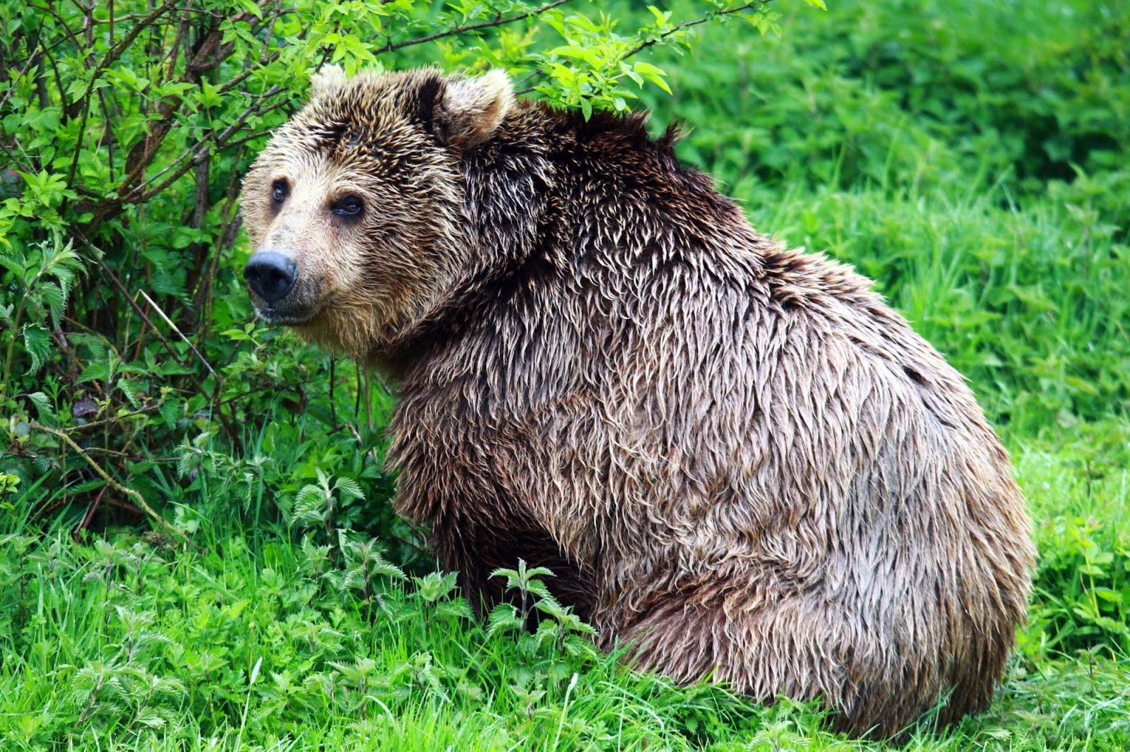 Oso salvaje de color café en las praderas - Brown wild bear | Art pics