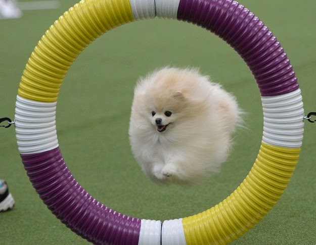Westminster dog show 1