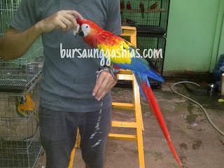 Jual burung macaw scarlet bursa unggas hias