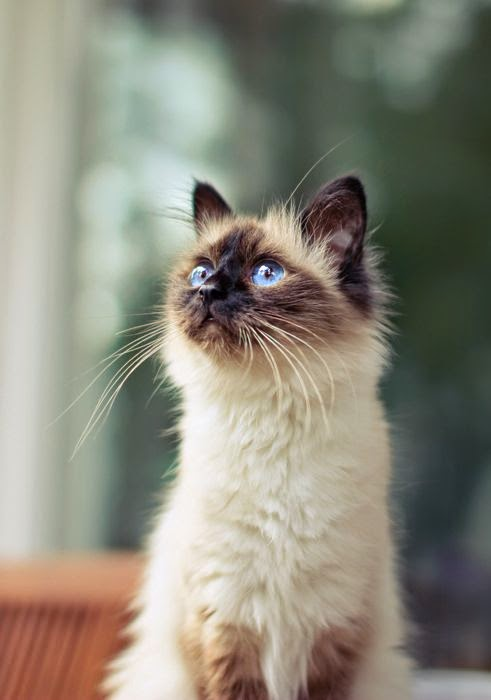 Pet's We Love: Top 5 Friendliest Cat Breeds