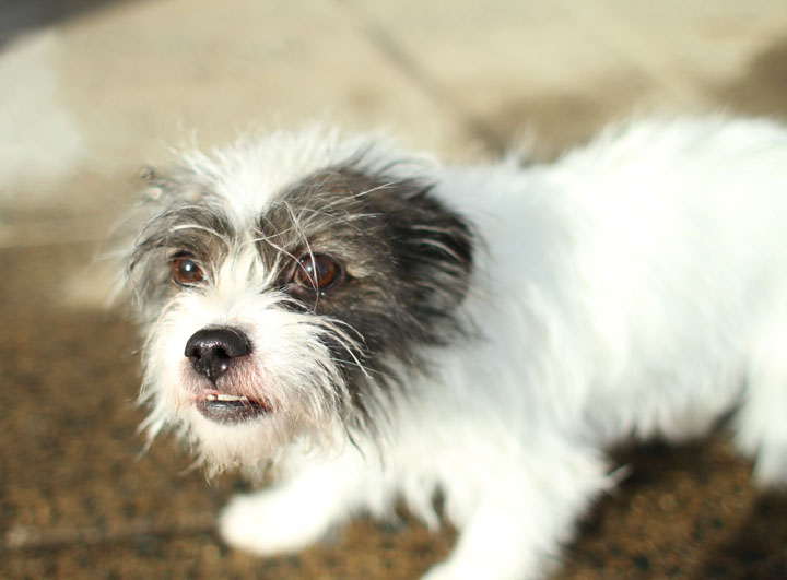 Shih Tzu Jack Russell Terrier mix