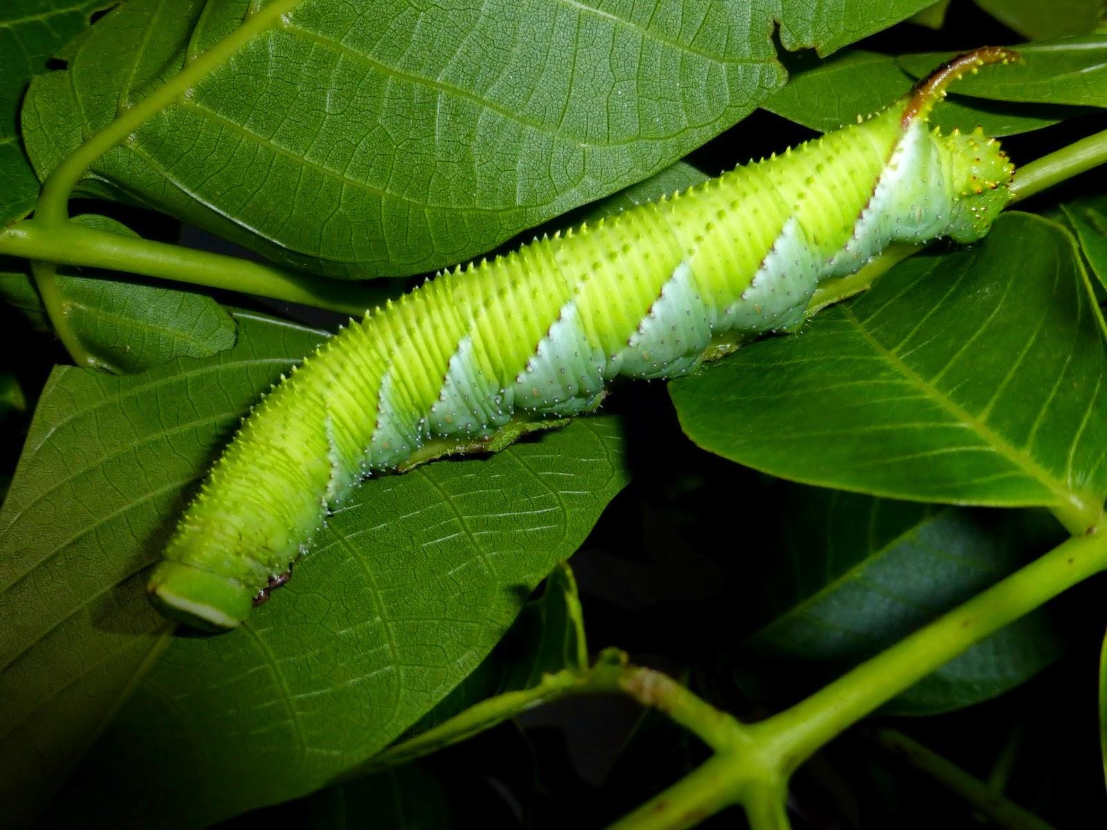 Phyllosphingia dissimilis caterpillar L5
