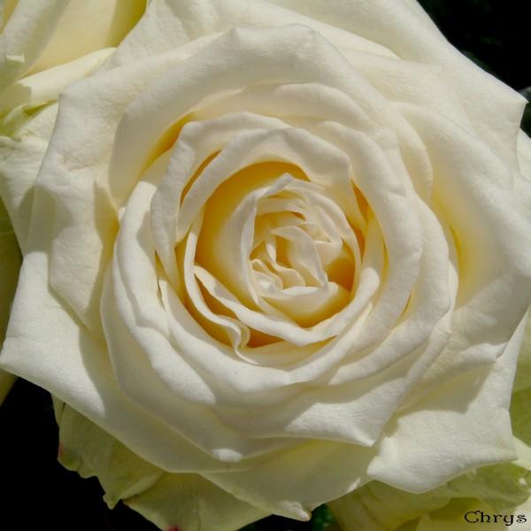 Le journal de chrys un inconnu vous offre des fleurs for Offre des fleurs