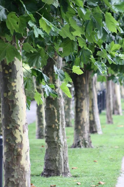 Platantræ hvordan