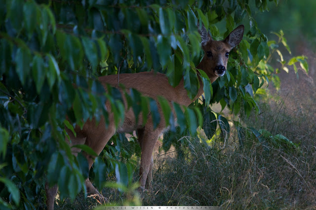 Ree stapt uit de bosrand - Roe Deer stepping out of the bushes  - Capreolus capreolus