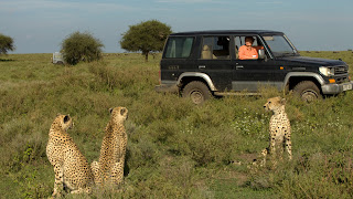 cheetah looking toward hunters in jeep