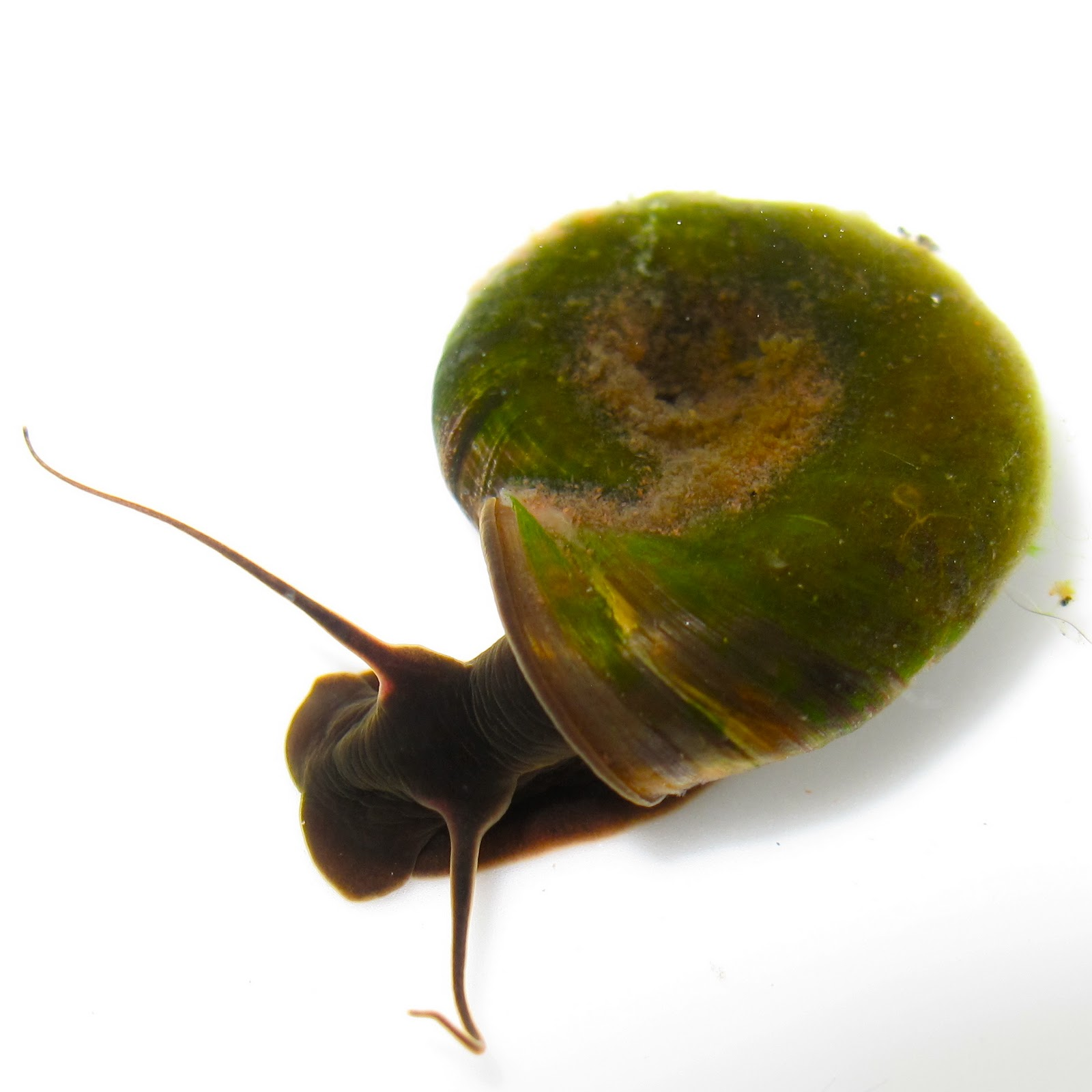 BugBlog: The Great Ramshorn Snail